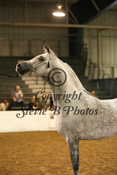 12.  12 21 Arabian Stallions ATH 2 & Over