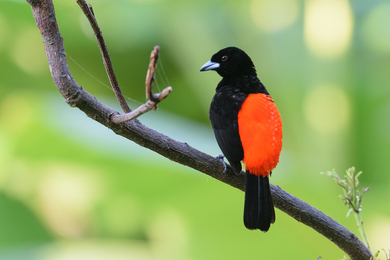 Crimson rumped tanager, male