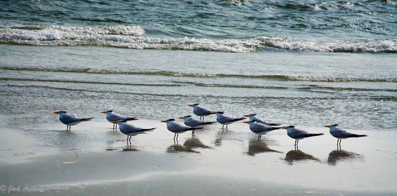 Royal Terns in a Row, Edisto Island, SC