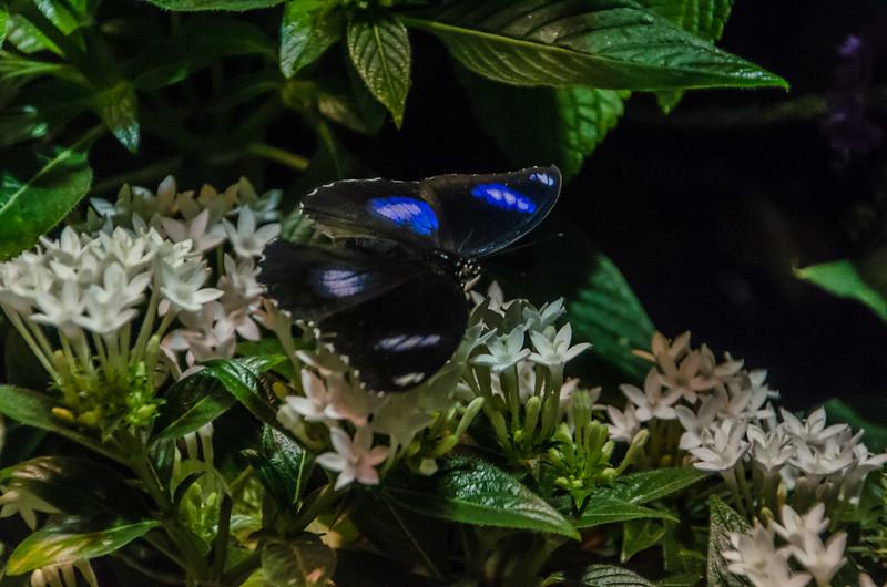 Butterflies at NMNH-16.jpg