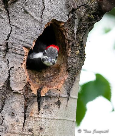Pileated woodpecker 2018