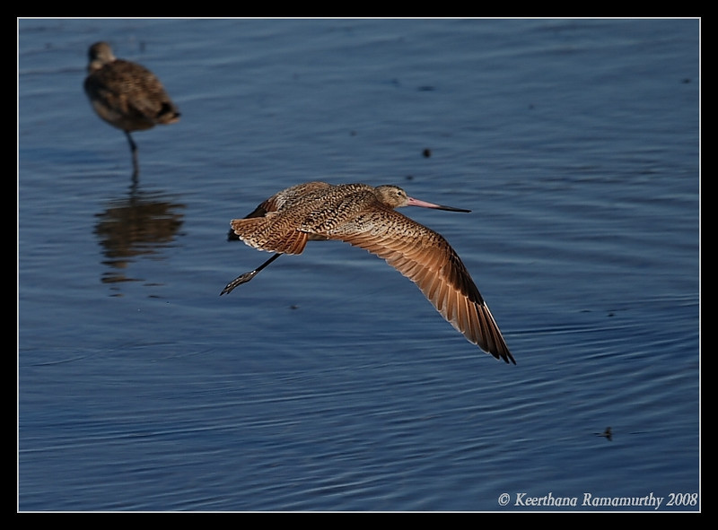 Marbled Godwit in flight, Robb Field, San Diego County, California, December 2008
