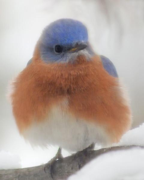Bluebird in Snow 1