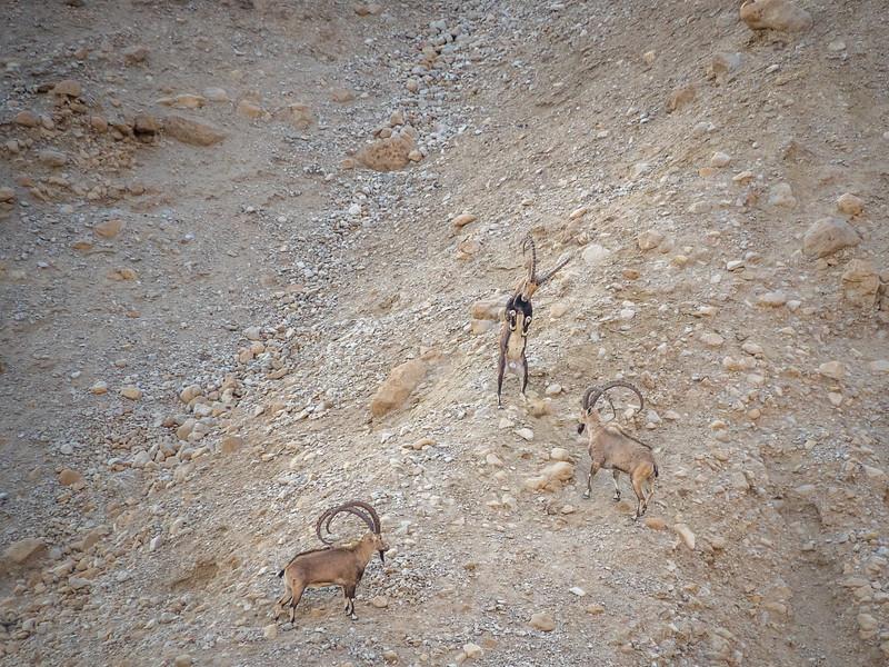 Ibex at Play, Ein Gedi, Israel