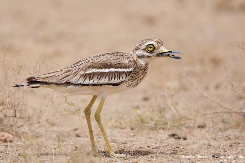Eurasian Thick-knee - Kutch, Gujrat, India