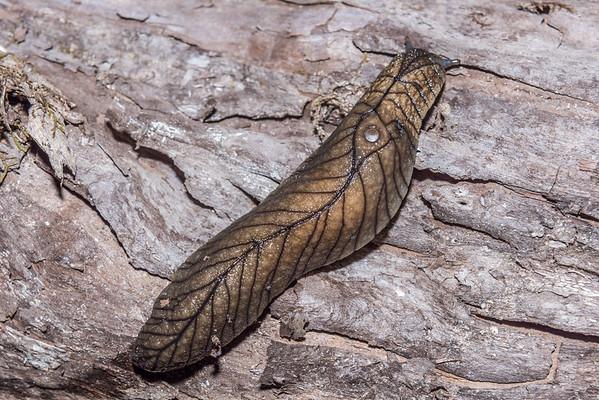 Leaf-veined slugs (Athoracophoridae)