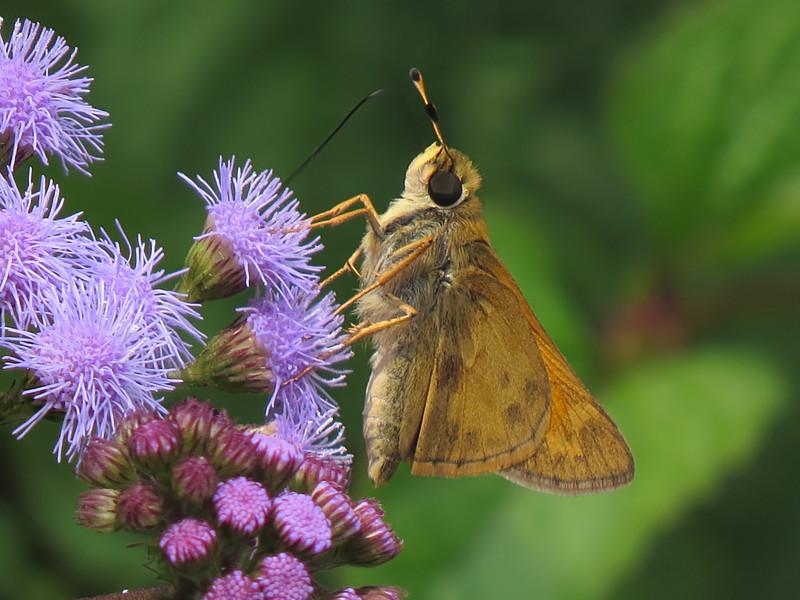 sx50_skipper_butterfly_flora_935.jpg