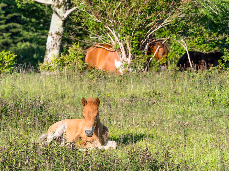 38 Jun 15 2019 Grayson Highland foal X-1.jpg