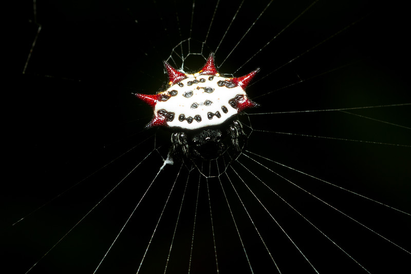 Spiny-backed orbweaver, Gasteracantha cancriformis, from the Timuacan preserve near Jacksonville, Florida.