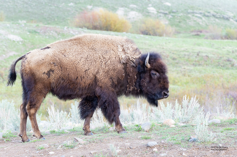 Bison, Yellowstone NP, WY, USA May 2018-1.jpg