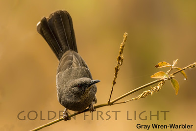 Gray Wren-Warbler, Kenya
