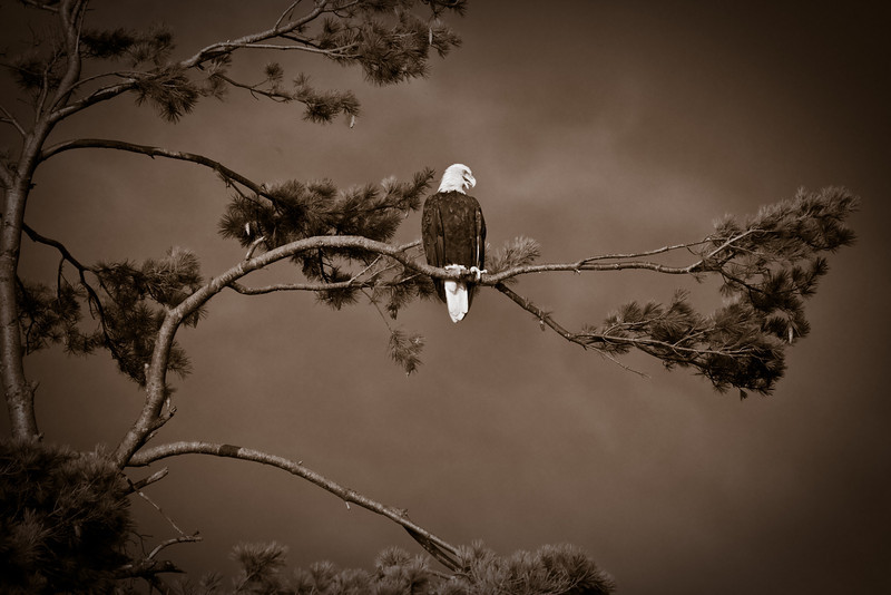 bow lake eagle august 2011-13.jpg