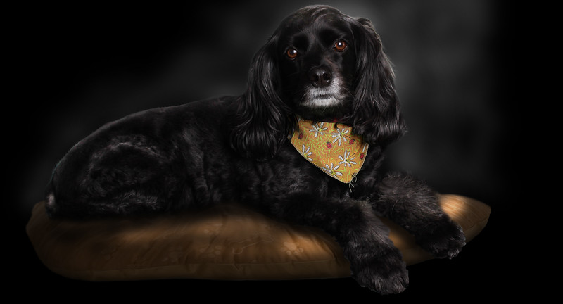 black-cocker-dog.jpg