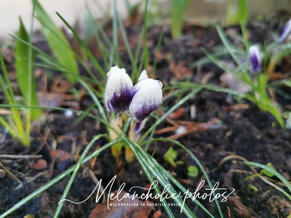 Toinen kevät Taikalaakson puutarhassa.