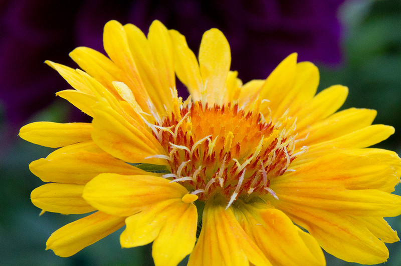 Amazing yellow flower with purple background