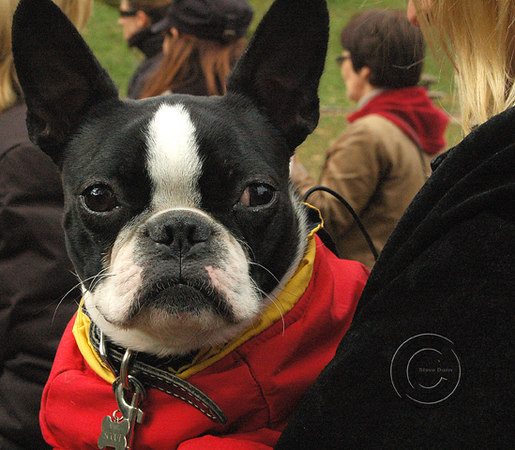 Meet up Trinity Bellwoods Boston Terrier
