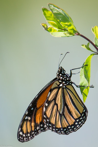 Monarch and Leaf