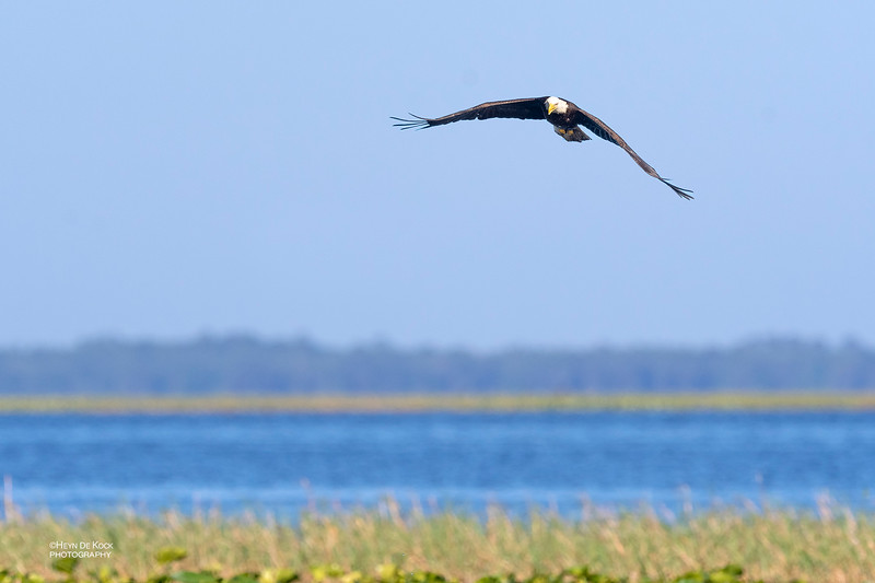 Bald Eagle, Kissimmee Swamp, Kenansville, FL, US, May 2018-1.jpg