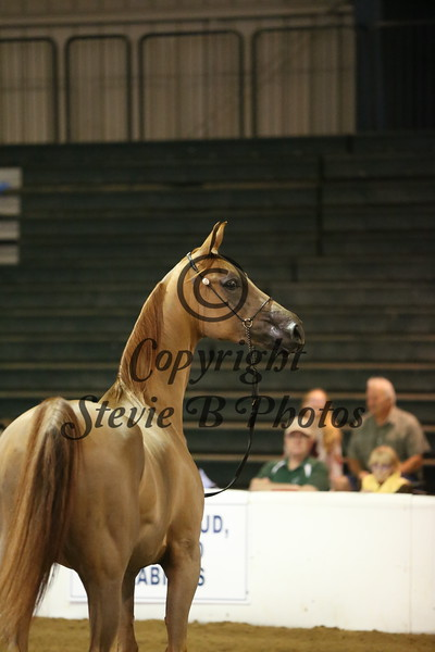 9. 9 450 HA/AA Geldings 2 & Over