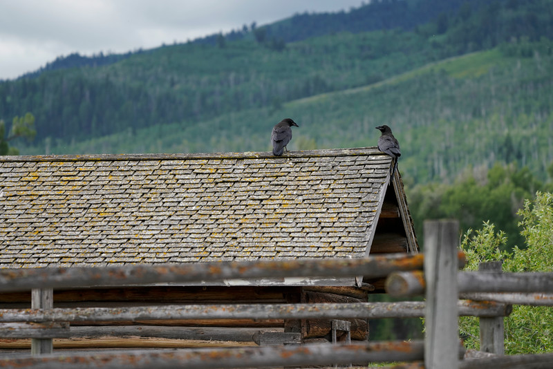 Ravens in Jackson Wyoming