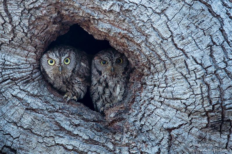 Western Screech-Owl - Atherton, CA, USA