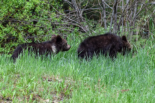 6-8-15 Grizzly Bear Cubs