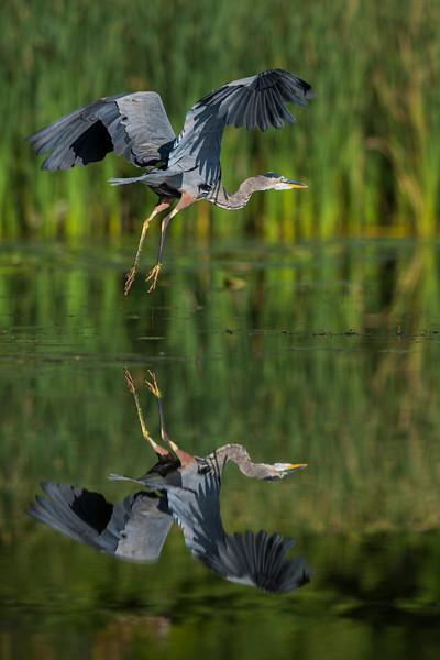 Heron_DRM8697LowRes.jpg