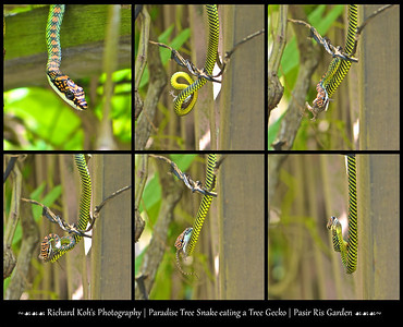 A morning photo walk at Paris Ris Garden, turn out to be the catch of the day.  For there was this paradise tree snake hunting around the passion fruit vine. It chased after two geckos, and one lost the race. The gecko ended up in the snake's mouth. In just one minute the gecko disappeared to be the breakfast of the paradise tree snake.