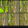 A morning photo walk at Paris Ris Garden,<br /> turn out to be the catch of the day. <br /> For there was this paradise tree snake<br /> hunting around the passion fruit vine.<br /> It chased after two geckos,<br /> and one lost the race.<br /> The gecko ended up in the snake's mouth.<br /> In just one minute the gecko disappeared to be<br /> the breakfast of the paradise tree snake.