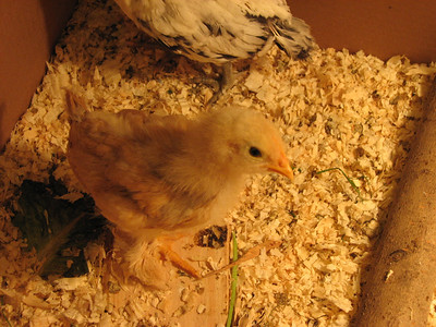 2009.05.02 chickens