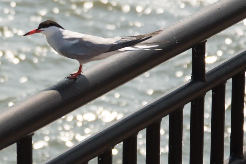 19-Sept North America Birds-6902.JPG
