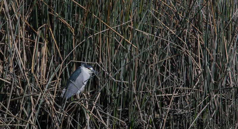 black-crown-night-heron.jpg