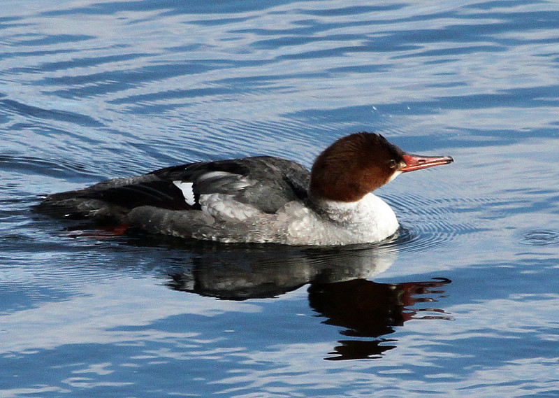 merganser female.jpg