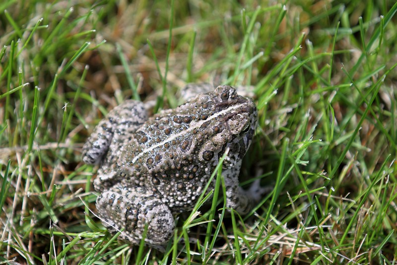 Woodhouse's Toad.jpg