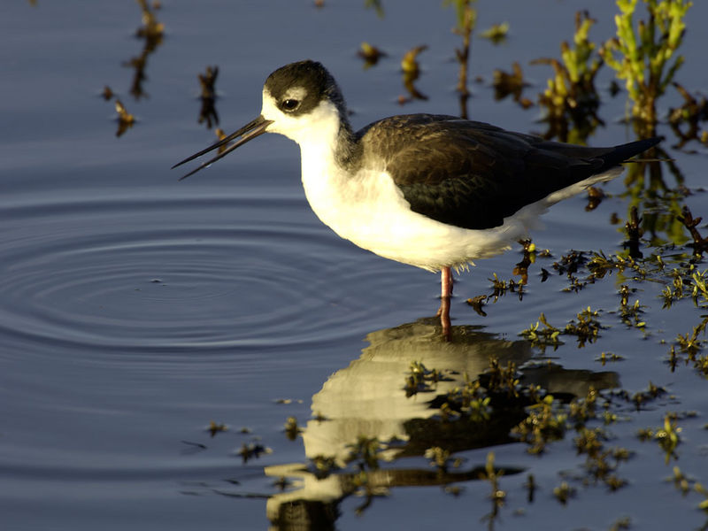 Black Necked Stilt - Shollenberger Park, Petaluma, California