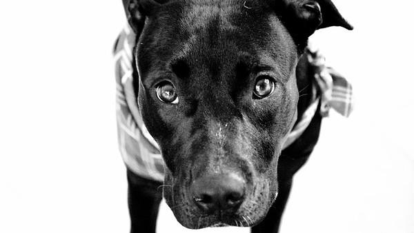 Canine Cassatt (CC)