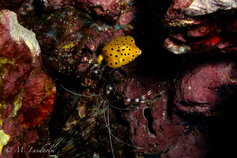 Yellow Boxfish & Banded Cleaner Shrimp