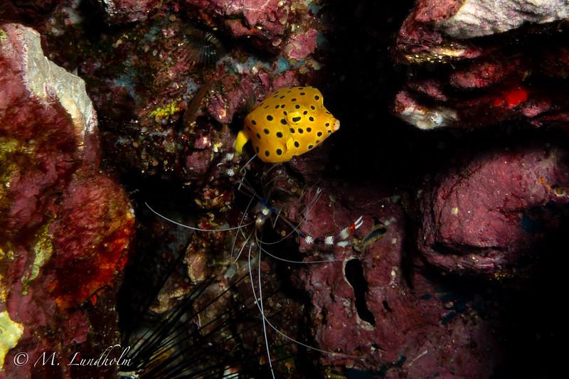 Yellow Boxfish & Banded Cleaner Shrimp