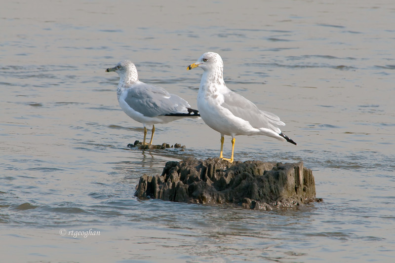 Oct 31_RingBilled Gulls_7152.jpg