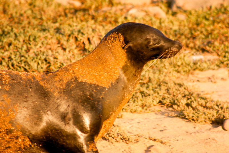 Journey into Baltra Island in the Galapagos Archipelago 35 Sandy Sea Lion