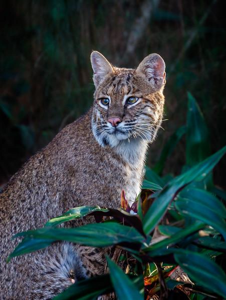 Florida Bobcat-1485.jpg
