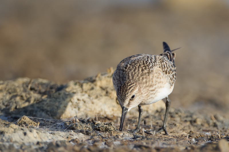 Baird's Sandpiper - Alviso, CA, USA