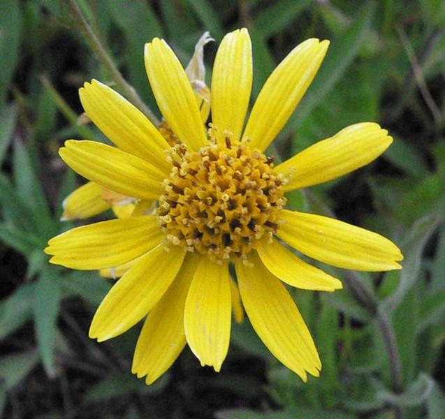 yellowarnica1.jpg