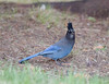 Stellar's Jay - Waterton
