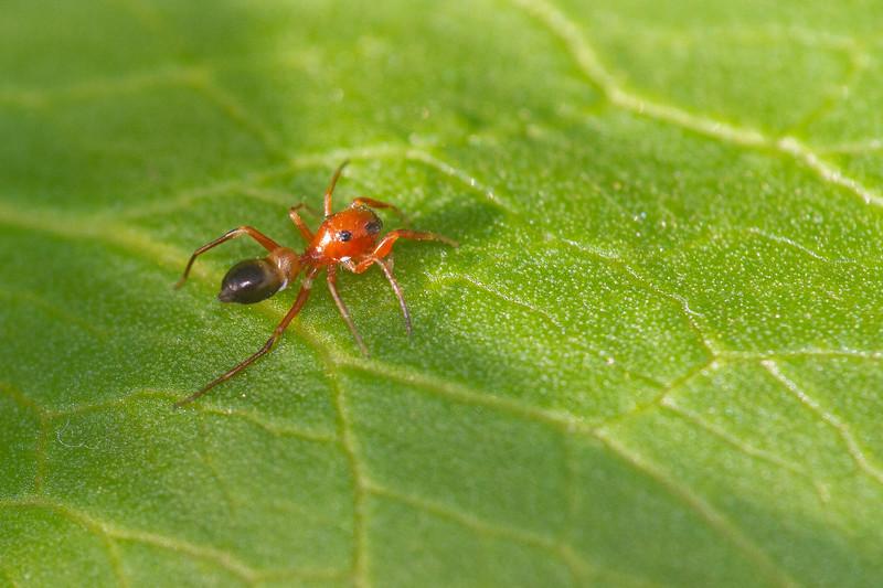 Peckhamia species Ant-mimicking Jumping Spider found inside our home Skogstjarna Carlton County MN IMG_0388.jpg