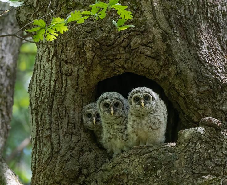 _6005549-Edit Barred Owl siblings.jpg