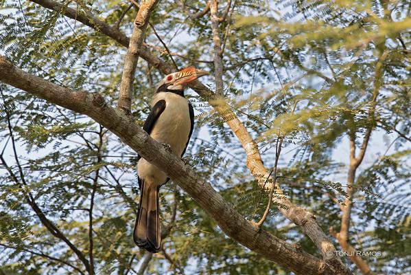 Mindoro Hornbill