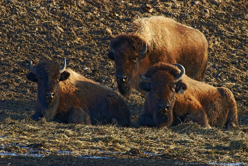 March 29th, 2008 - I knew there was a buffalo farm close to Town but I never really stopped to grab an image. I decided to correct this a few days ago. Have a great day - JY