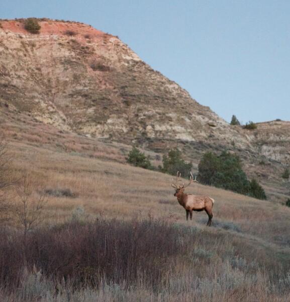 Elk bull sunset Teddy Roosevelt National Park ND IMG_5896.jpg