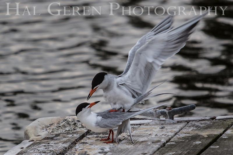 Least Tern love Newark, California 1304N-LTL1